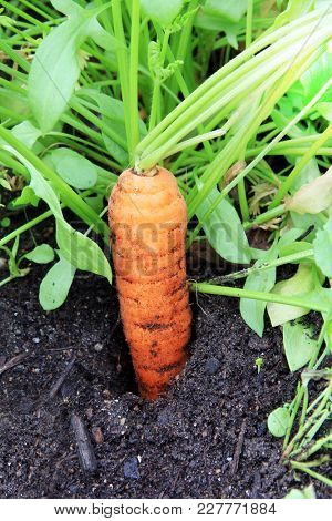 Fresh organic carrot in the ground in the garden soil.
