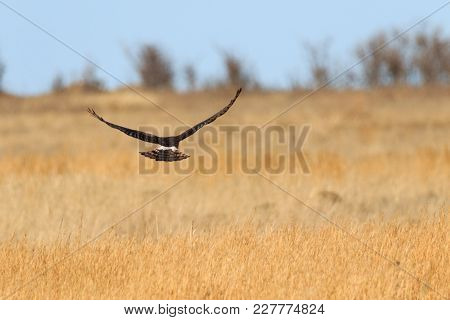 A Northern Harrier Fllying Over The Grassland Torwards The Tree Line At The Tallgrass Prairie Preser