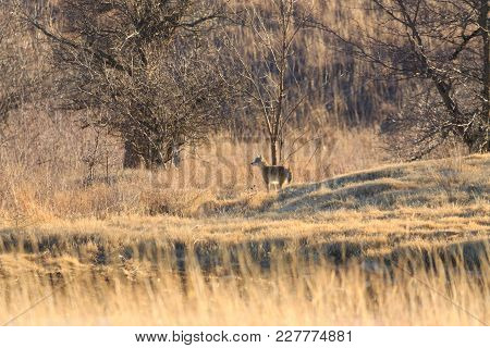 A Coyote Standing Along The Treeline In Fairfax, Oklahoma