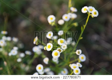 Little White Daisy Flower Beautiful  In The Evening So Day