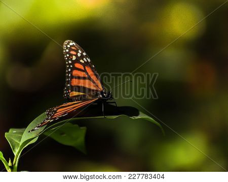 Isolated Monarch Butterfly Posing On A Leaf Sanctuary El Rosario In Mexico