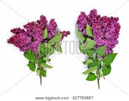 Blooming Lilac Flowers Isolated On White Background.