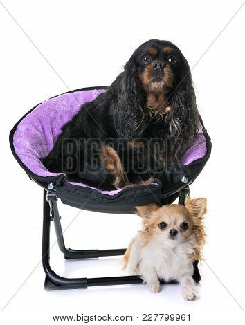 Cavalier King Charles And Chihuahua In Front Of White Background
