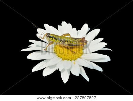 A Close Up Of The Grasshopper (locust) On Flower Of Chamomile. Isolated On Black.