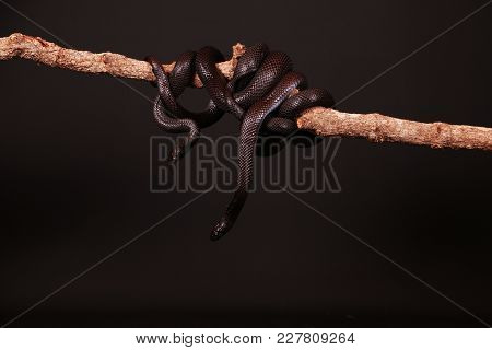 Two Black Vipers Are Entwined On A Llimb In The Studio