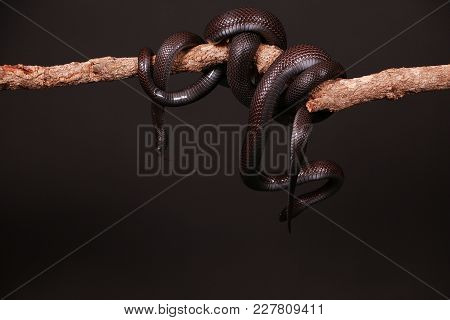 Two Black Vipers Are Entwined On A Limb In The Studio