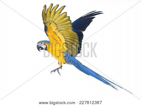 Blue-and-yellow Macaw In Front Of White Background