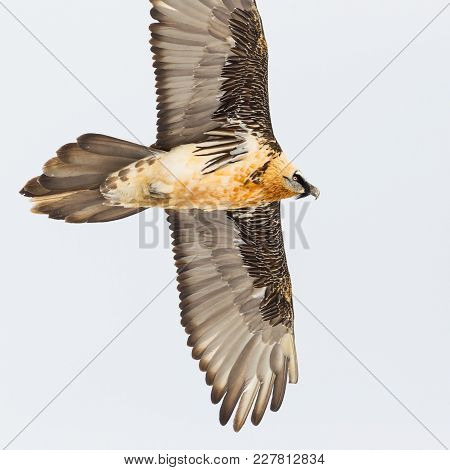 Close View Natural Adult Bearded Vulture Bird In Flight (gypaetus Barbatus), Spread Wings