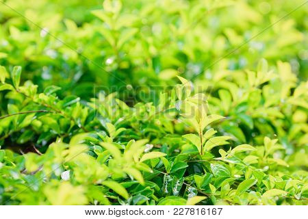 Green Spring Leaves With Bokeh Lights For Nature Background,selective Focus With Blur Foreground And