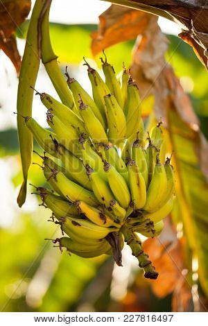 Banana Tree With Ripe Bananas In The Evening Light.