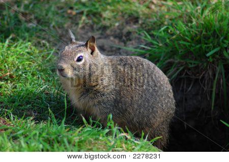 Ground Squirrel Pops Up.
