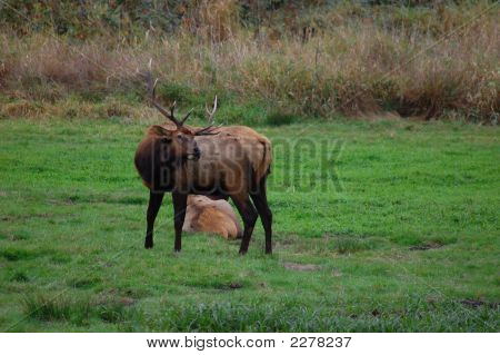 A bull elk turns to scratch his back in the green meadow. poster