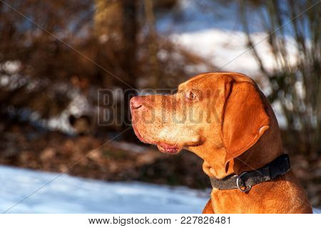 Hungarian Hunting Dog On A Winter Hunt In The Woods. Vizsla Hunting Wildlife