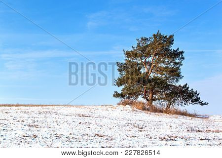 Lonely Pine Trees On A Snowy Pasture In The Czech Countryside. Winter Morning On Pastures