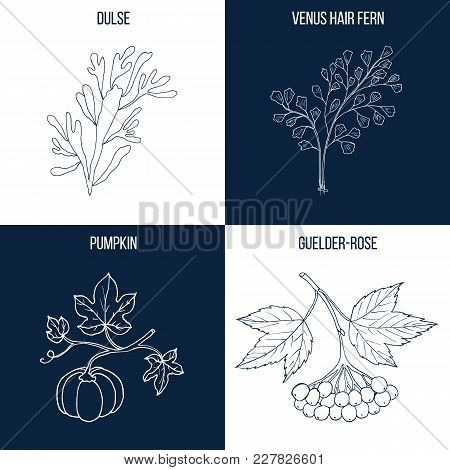 Vector Collection Of Four Hand Drawn Medicinal And Eatable Plants, Dulse, Venus Hair Fern, Pumpkin,