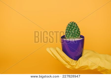Cropped Shot Of Human Hand In Glove Holding Pot With Cactus Isolated On Yellow