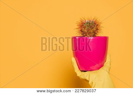 Close-up Partial View Of Human Hand In Glove Holding Pink Pot With Cactus Isolated On Yellow