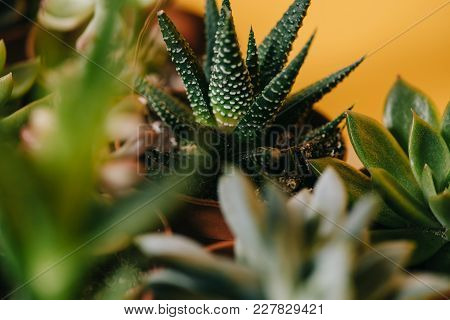 Selective Focus Of Beautiful Green Potted Succulents Plants On Yellow