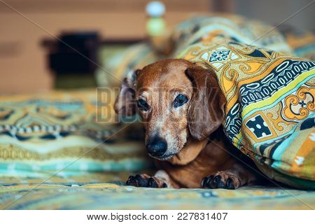 Old Funny Dog Lies On The Couch Peeking Out From Under The Blanket And Looking Into The Camera.