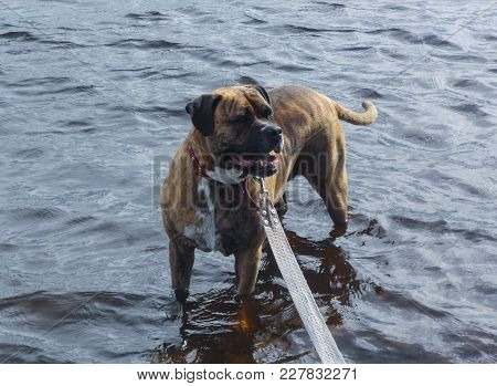 Dog Breeder Boxer Bathes In The River.