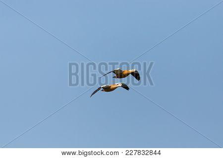 Two Natural Ruddy Shelducks (tadorna Ferruginea) In Flight, Blue Sky