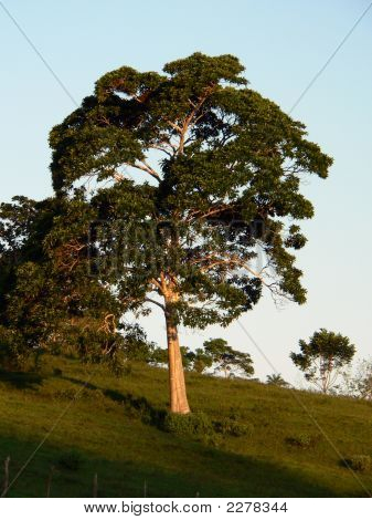 Big Tree On Golden Hour