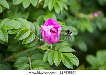 Flower And Briar Foliage And Bumblebee.