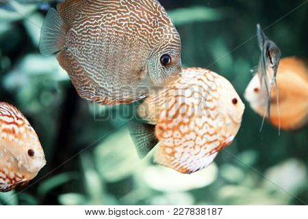 Colorful Of Discus, Symphysodon Aequifasciatus. Discus Are Some Of The Most Beautiful Tropical Fish