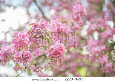 Joyful Spring Bloom Of Crabapple Tree Close Up. Crabapple Trees Are Famous For Their Colorful, Fragr