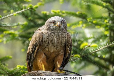 Red Kite Resting On Tree Trunk In Forest.