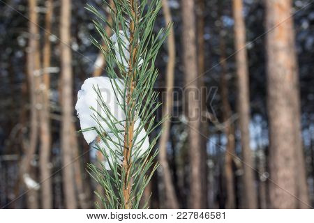 Snowball On A Spruce Branch On A Blurred Background Of Tall Pines On A Bright Winter Day