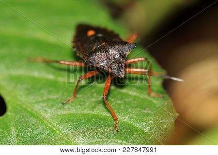 The Red-footed Shield Bug- Pentatoma Rufipes, Sometimes Called Forest Bug