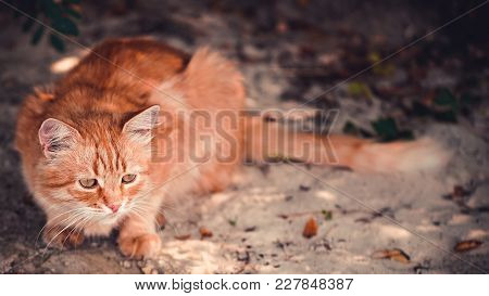 Red Cat Sitting On A Sandy Beach In Autumn.