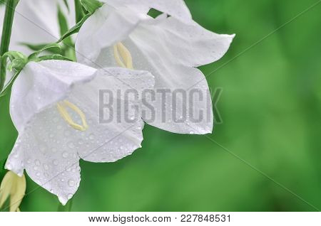 Delicate White Campanula Flowers With Water Droplets Of Dew Covered  Close-up On A Blurred Green Bac