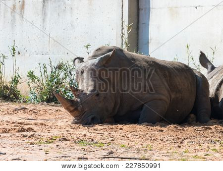 Ramat Gan, Israel - Februar 21, 2018 : The Rhinoceros (rhinocerotidae)  Rest In The Sun After Eating