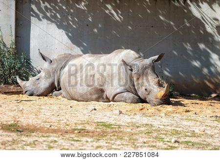 Ramat Gan, Israel - Februar 21, 2018 : Two Rhinoceros (rhinocerotidae)  Are Rest In The Sun After Ea