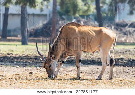 Ramat Gan, Israel - Februar 21, 2018 : The Impala (aepyceros Melampus) Antelope Looking For Food On