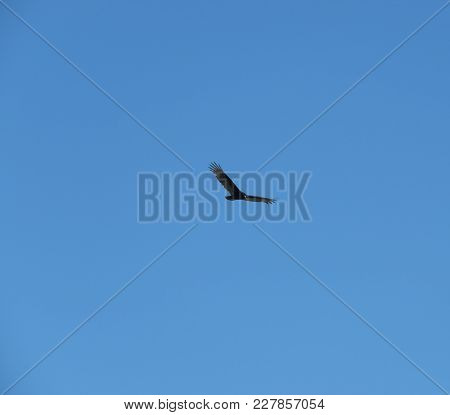 Texas Turkey Vulture Buzzard Soaring In Thermal