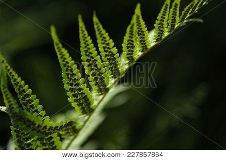 Sunlit Leaf Of Fern With Black Spores.