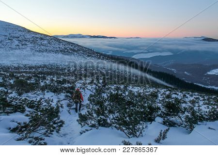 Hiker Walking Between Bushes On Snowy Mountains During Sunset, Carpathian Mountains, Ukraine