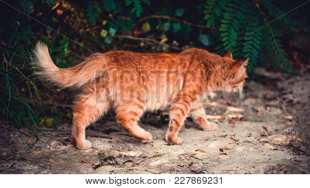 A Red Cat Sneaking On A Beach In The Fall.