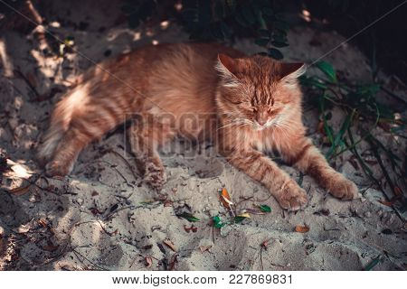 A Red Cat Is Lying On The Beach In The Fall.