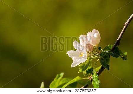 Spring Apple Flowers In Bloom Lit By Soft Spring Sunlight, Spring Flower Background, Free Space For