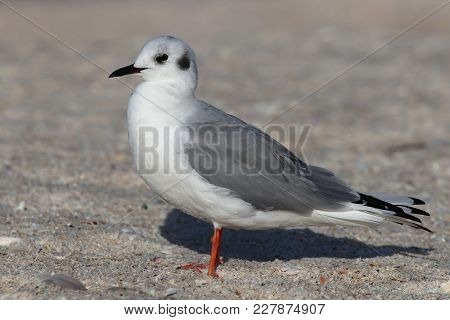 A Bonaparte Gull In Winter Plumage Standing On A Beach In Florida