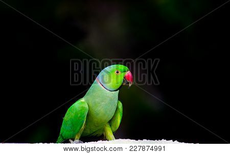 The Rose-ringed Parakeet, Also Known As The Ring-necked Parakeet, Is A Gregarious Tropical Afro-asia