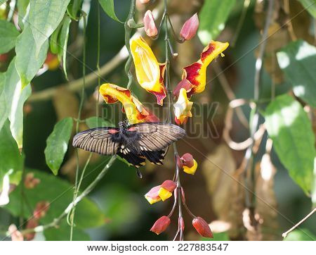Beautiful Swallow Tailed Butterfly Resting On A Bright Yellow And Red Fower With Wings Fuly Extended