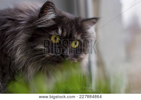 Gray Cat With Yellow Eyes, In The Grass