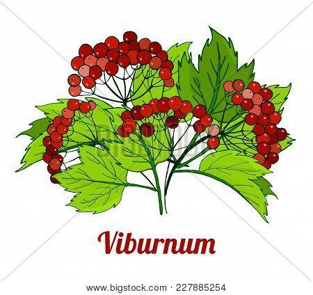 Bunch Of Viburnum Branches. Medicinal Plant. Vector