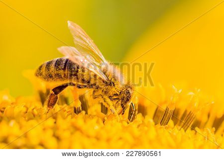 Honey Bee Covered With Yellow Pollen Collecting Nectar In Flower. Animal Is Sitting Collecting In Su