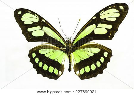 Lime Green Butterfly.  I Illuminated It From Underneath To Being Out The Colors And Textures In The